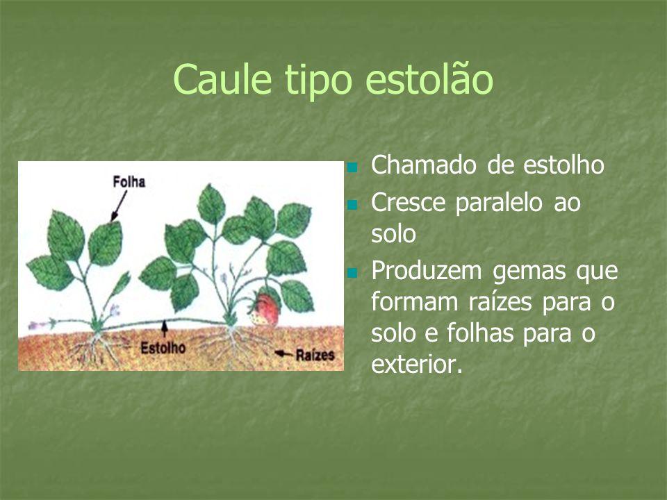 Caule tipo estolão Chamado de estolho Cresce paralelo ao solo