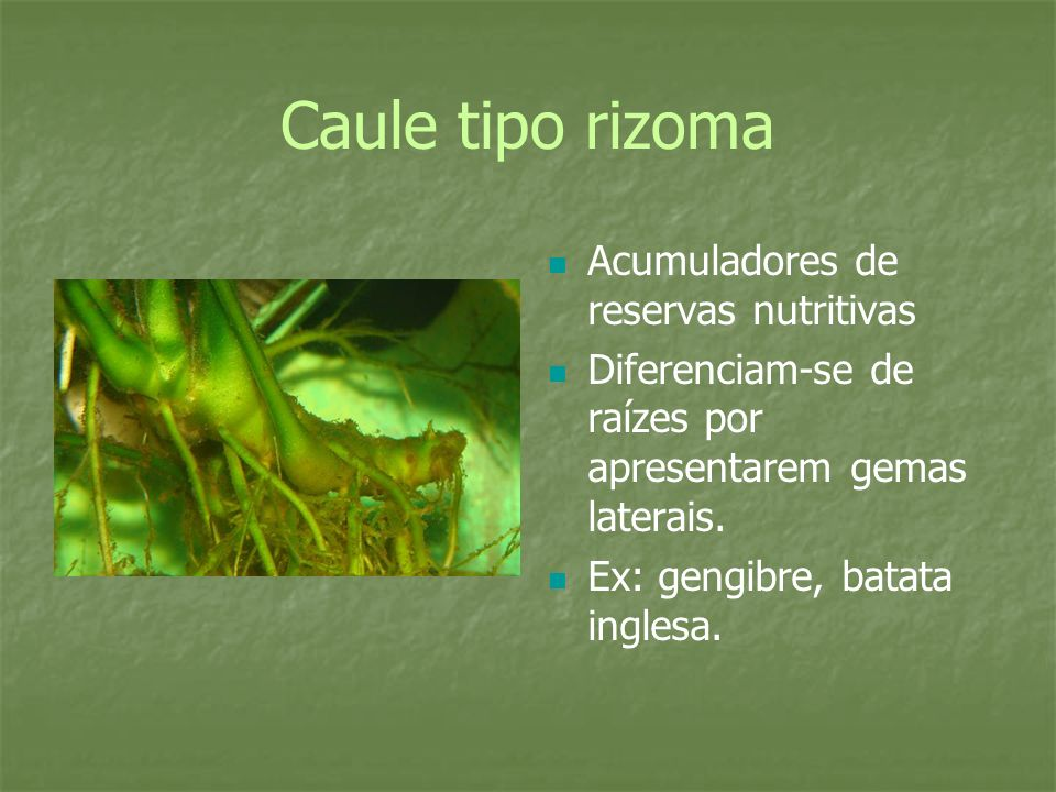 Caule tipo rizoma Acumuladores de reservas nutritivas