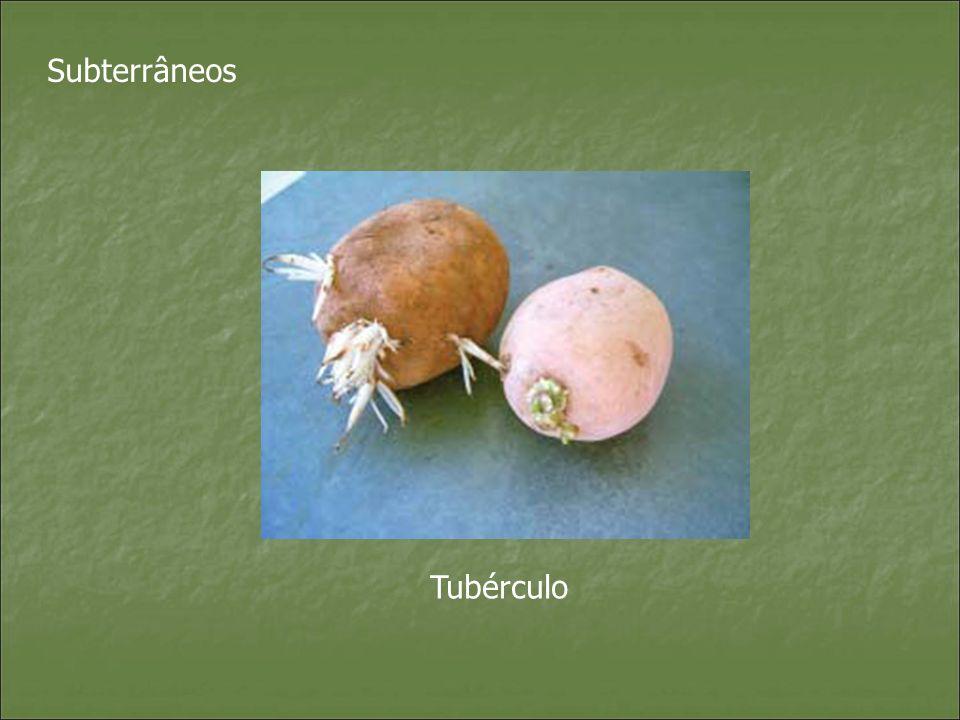 Subterrâneos Tubérculo