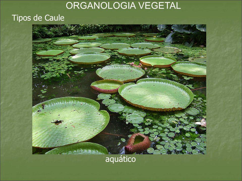 ORGANOLOGIA VEGETAL Tipos de Caule aquático