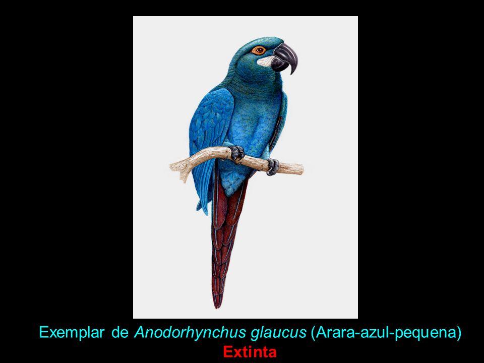 Exemplar de Anodorhynchus glaucus (Arara-azul-pequena) Extinta