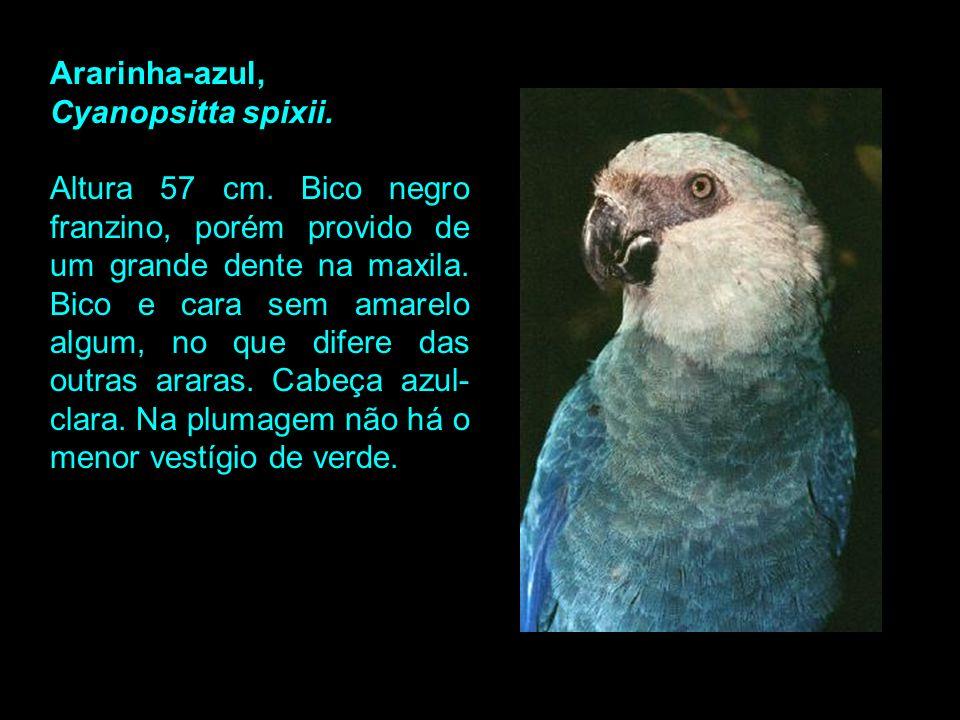Ararinha-azul, Cyanopsitta spixii.