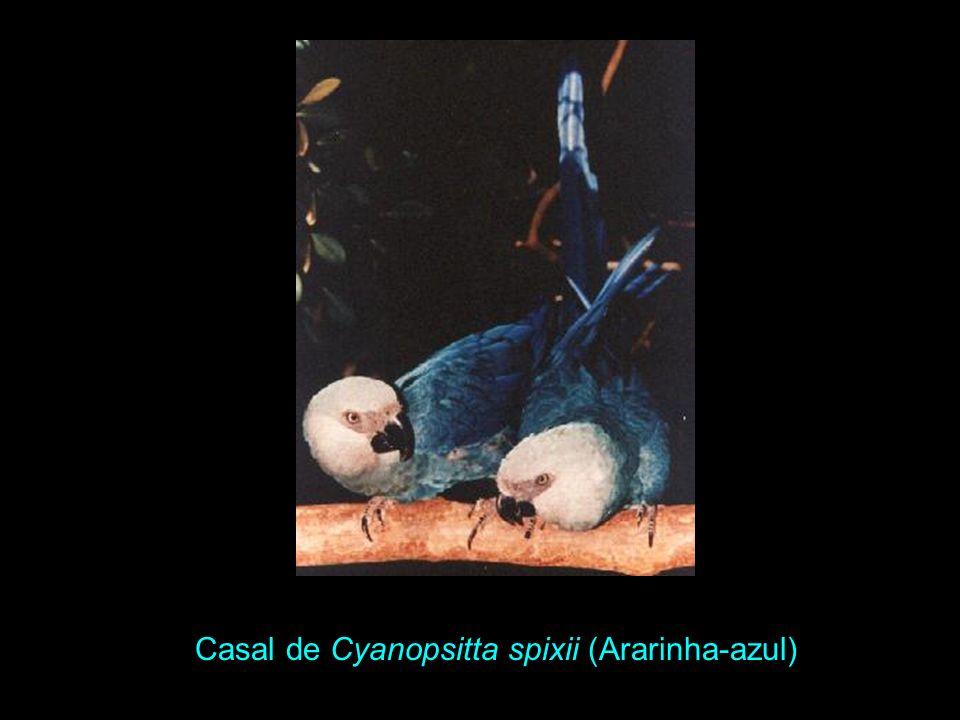 Casal de Cyanopsitta spixii (Ararinha-azul)