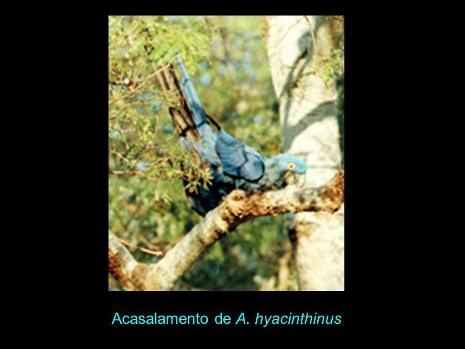 Acasalamento de A. hyacinthinus