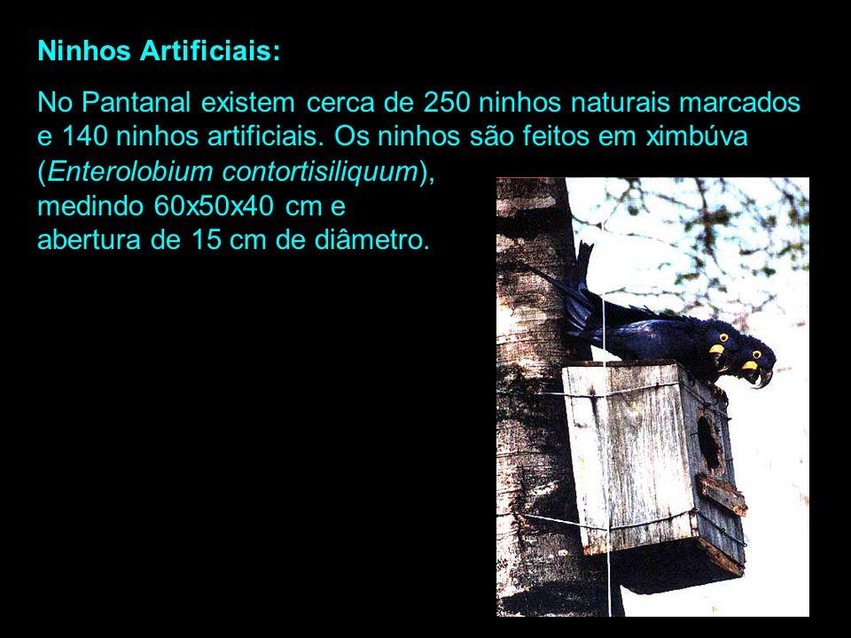 Ninhos Artificiais: No Pantanal existem cerca de 250 ninhos naturais marcados e 140 ninhos artificiais. Os ninhos são feitos em ximbúva.