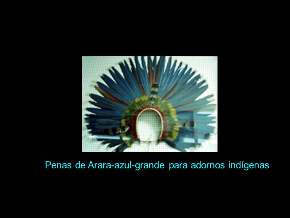 Penas de Arara-azul-grande para adornos indígenas