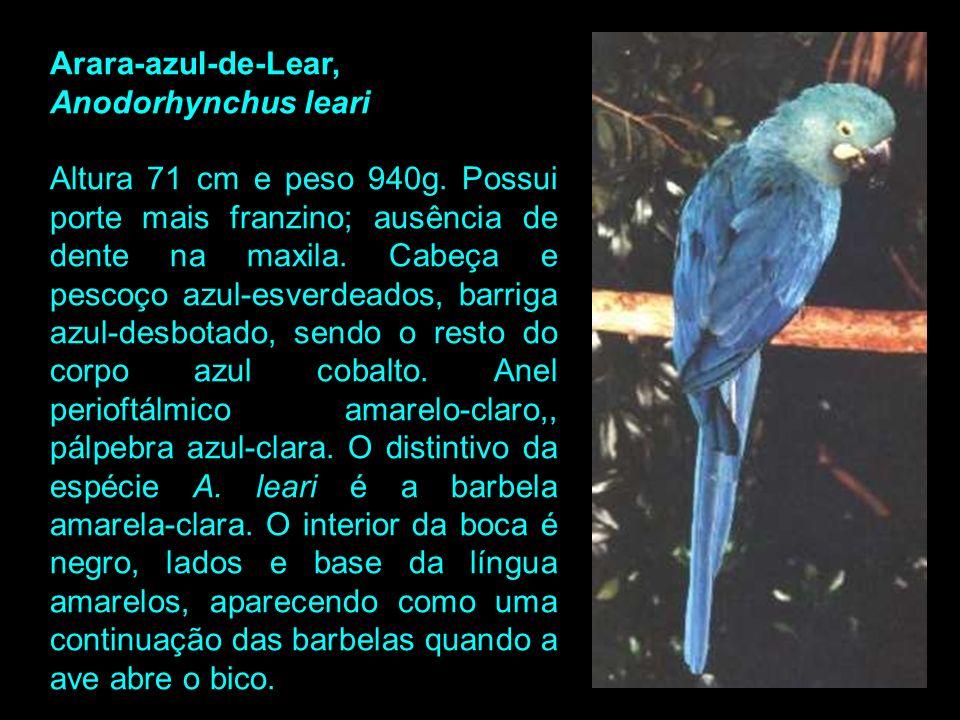 Arara-azul-de-Lear, Anodorhynchus leari