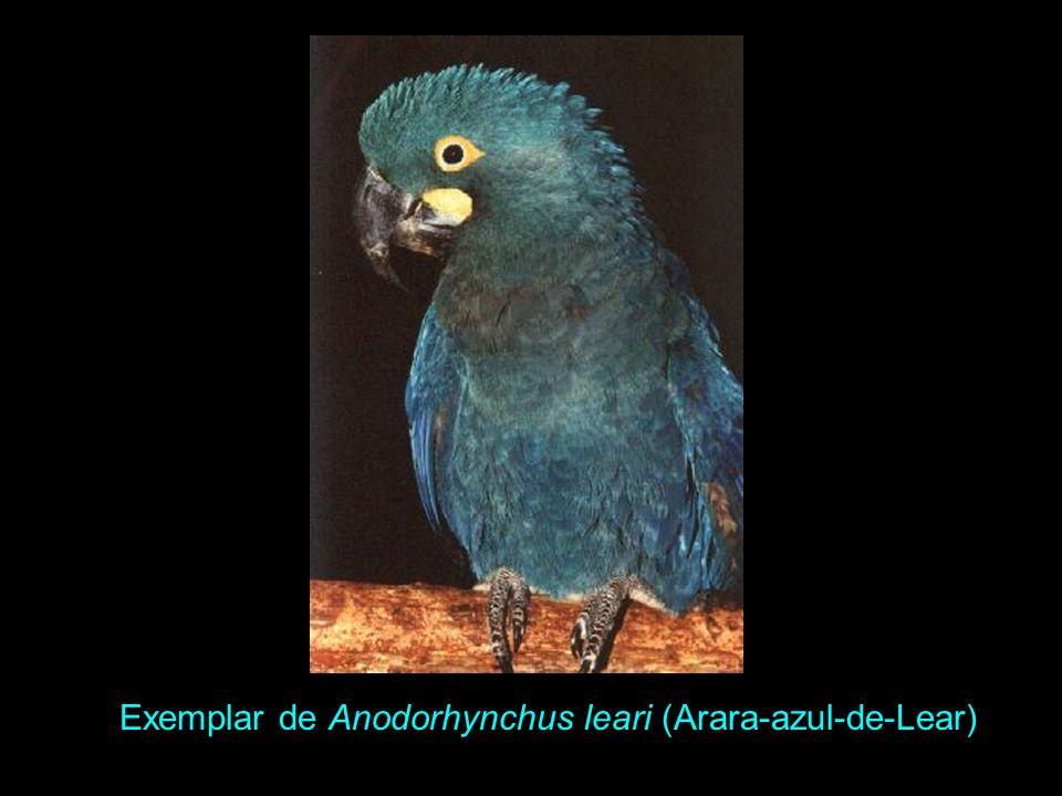 Exemplar de Anodorhynchus leari (Arara-azul-de-Lear)