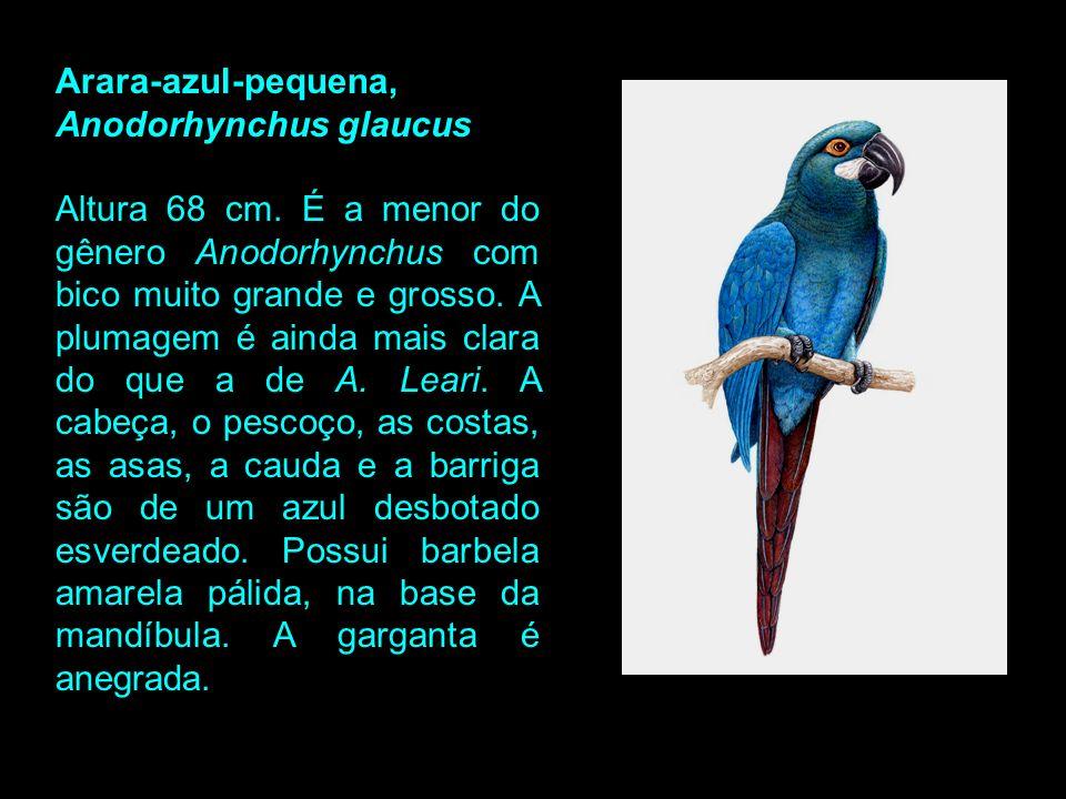 Arara-azul-pequena, Anodorhynchus glaucus.