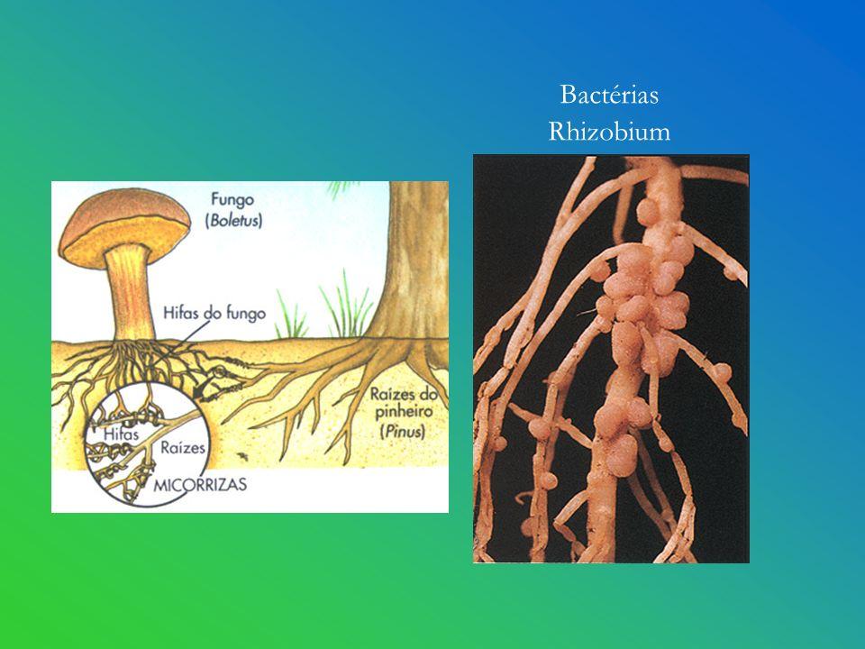 Bactérias Rhizobium