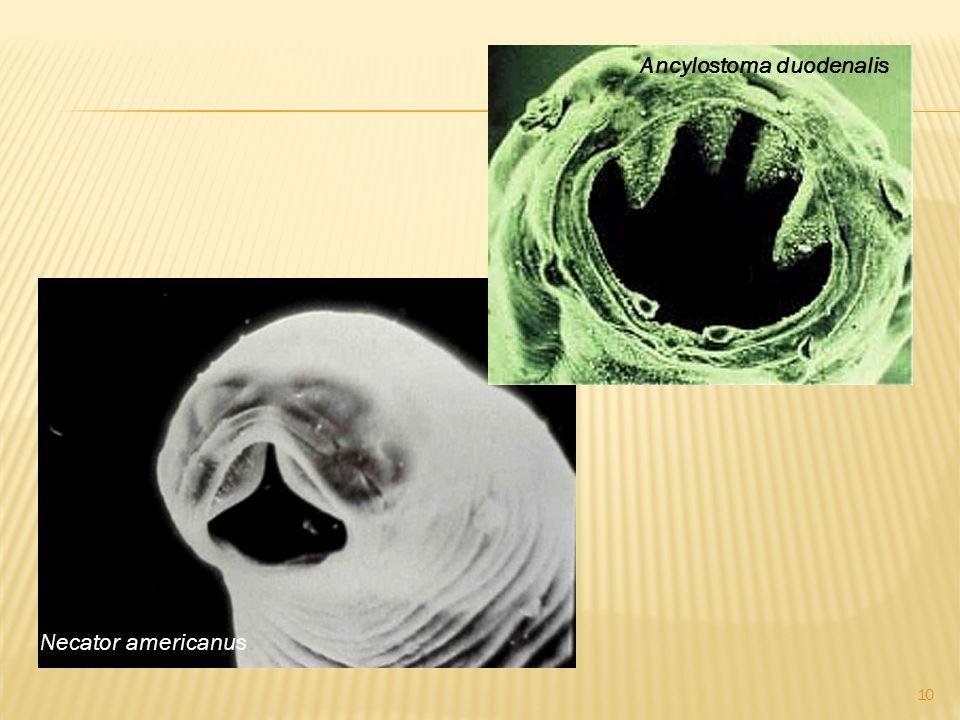 Ancylostoma duodenalis