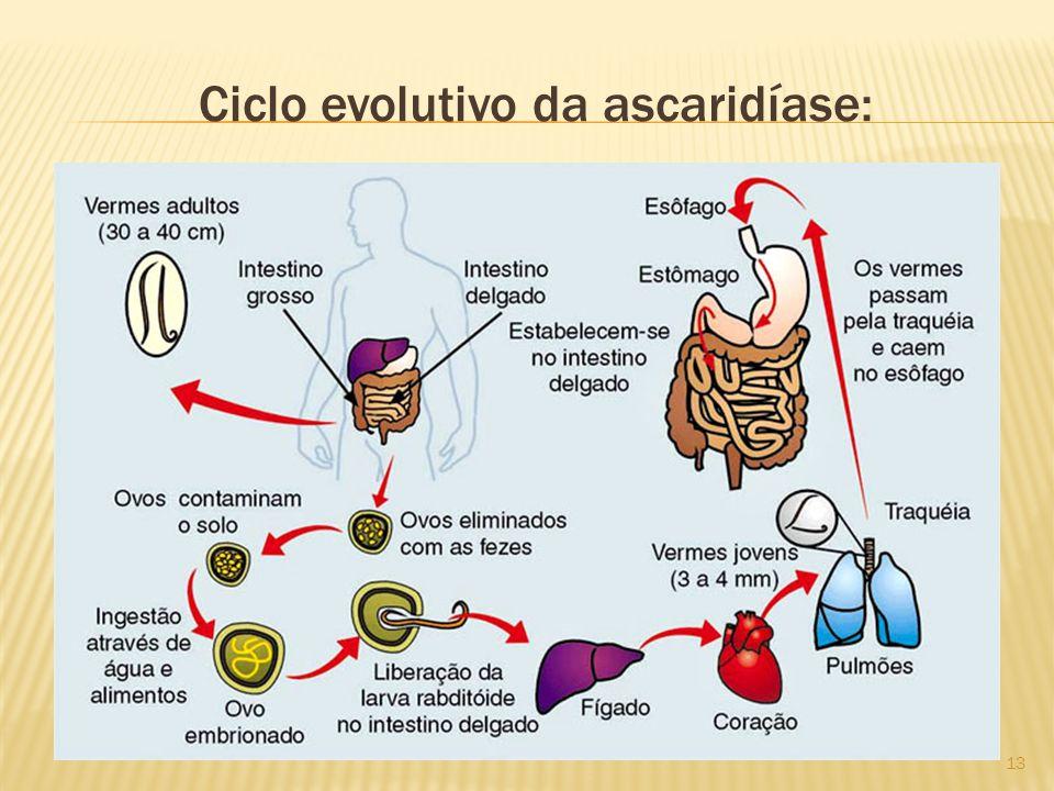 Ciclo evolutivo da ascaridíase: