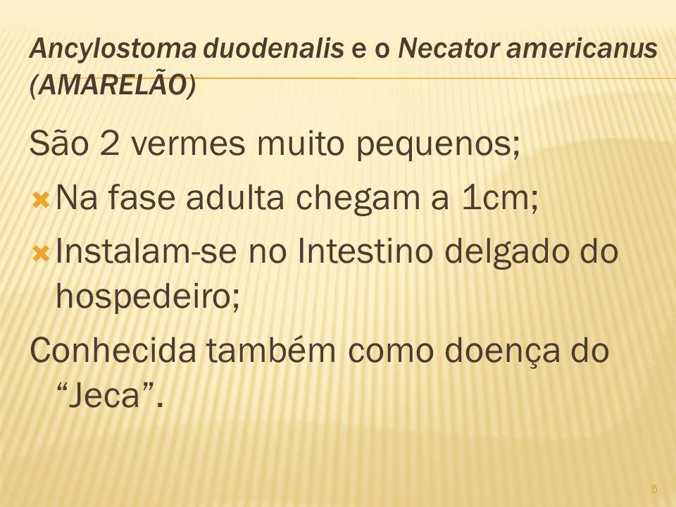 Ancylostoma duodenalis e o Necator americanus (AMARELÃO)