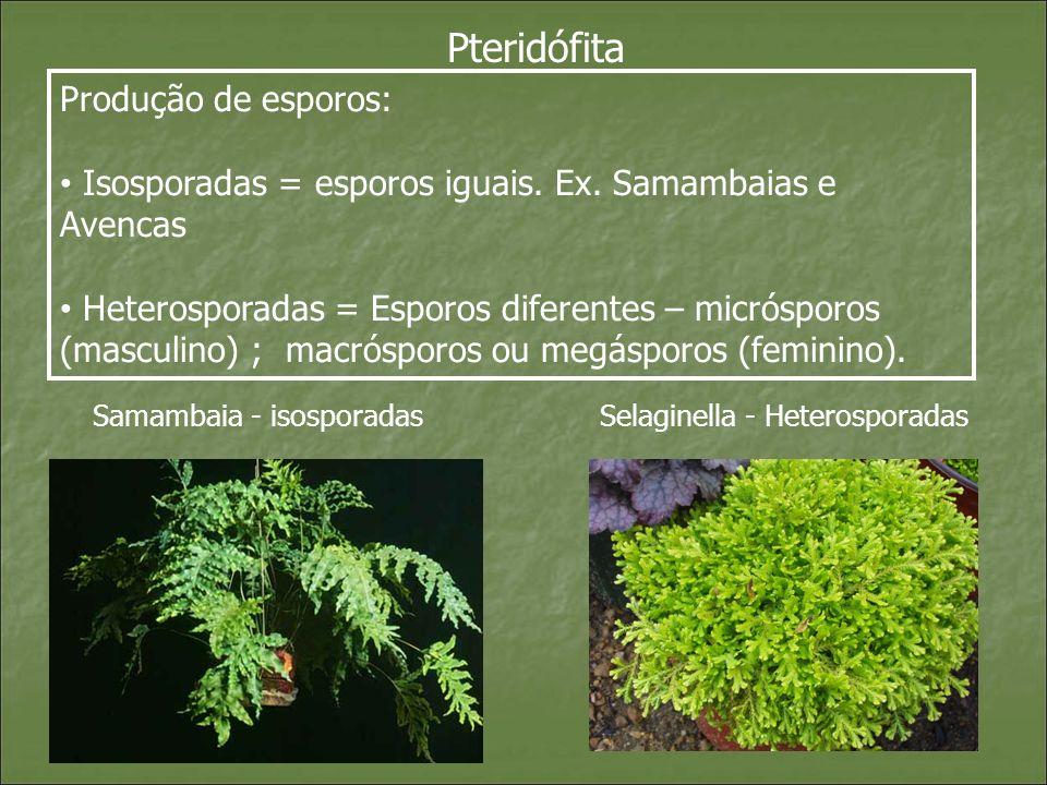 Pteridófita Produção de esporos:
