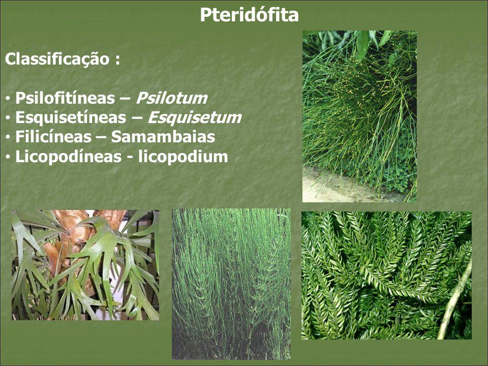 Pteridófita Classificação : Psilofitíneas – Psilotum