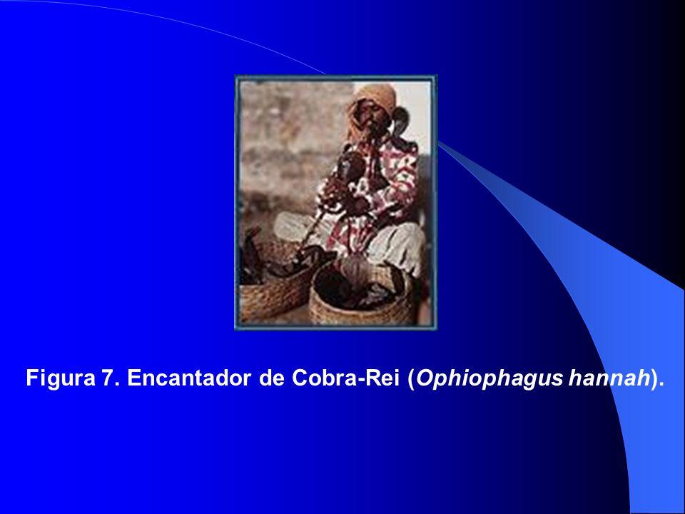 Figura 7. Encantador de Cobra-Rei (Ophiophagus hannah).