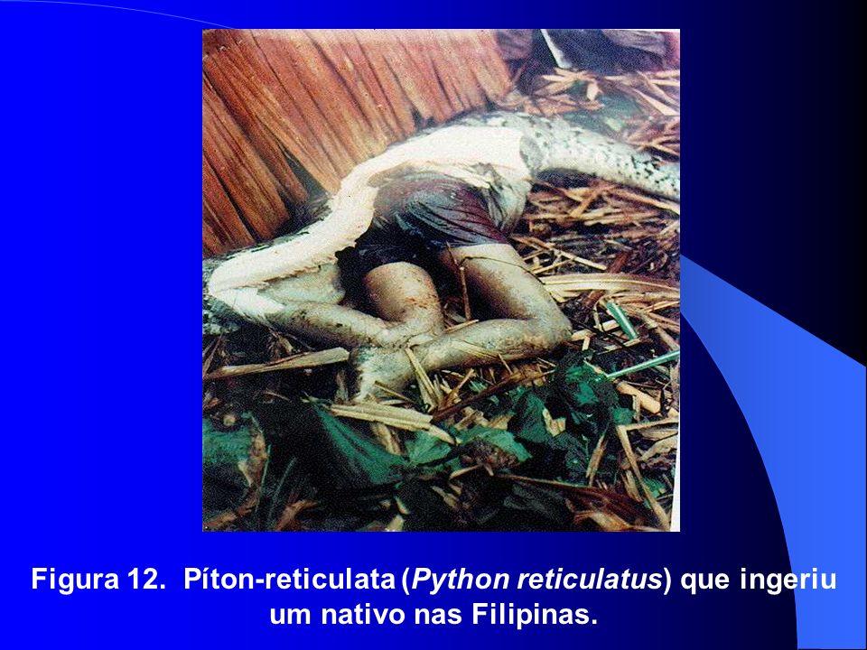 Figura 12. Píton-reticulata (Python reticulatus) que ingeriu um nativo nas Filipinas.