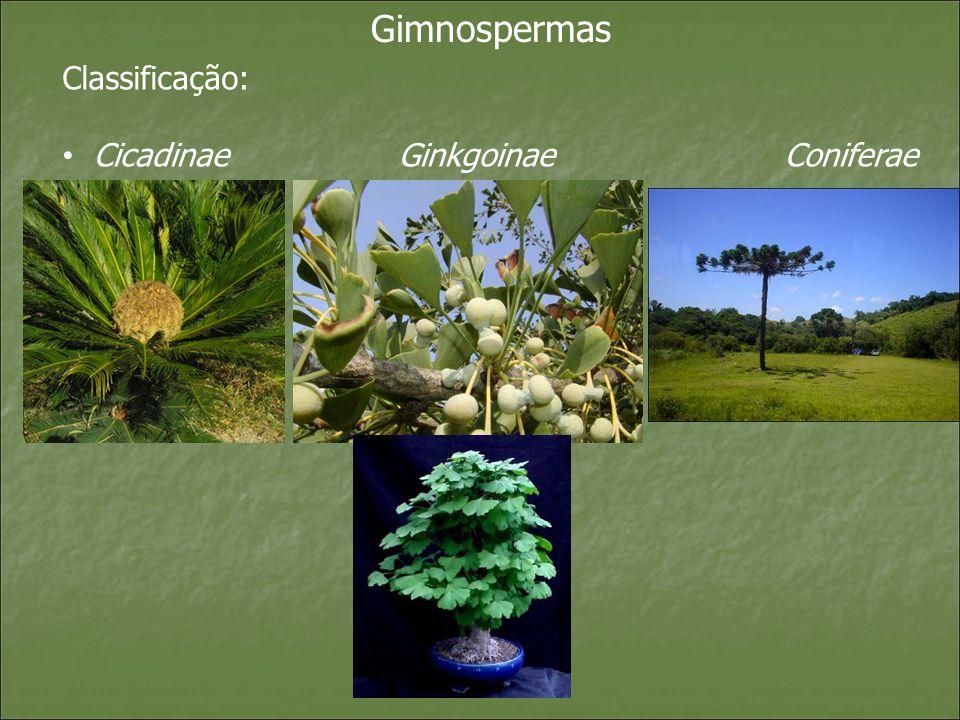 Gimnospermas Classificação: Cicadinae Ginkgoinae Coniferae