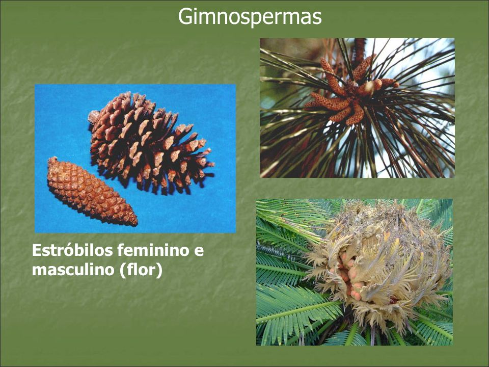 Gimnospermas Estróbilos feminino e masculino (flor)