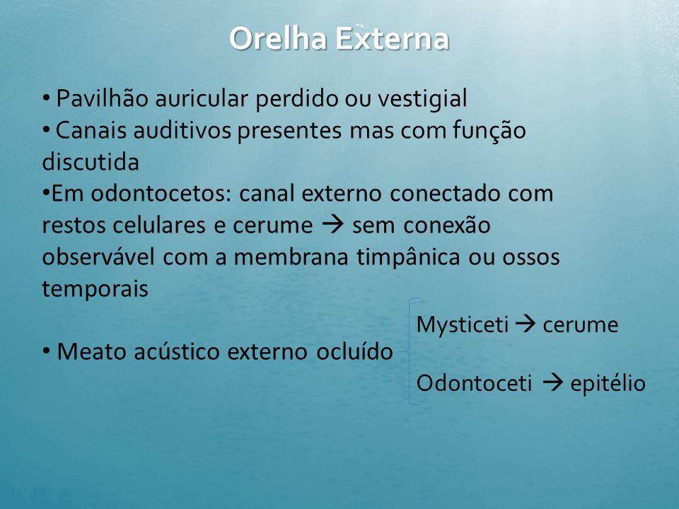 Orelha Externa Pavilhão auricular perdido ou vestigial
