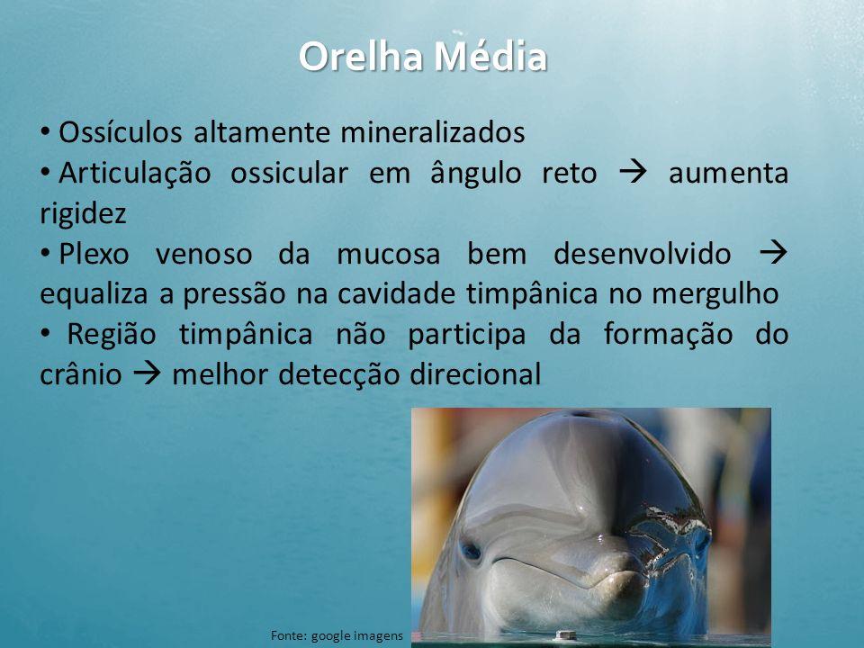 Orelha Média Ossículos altamente mineralizados