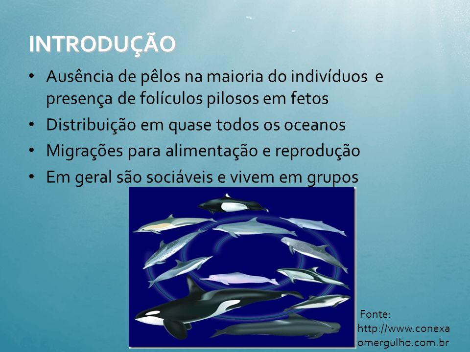 INTRODUÇÃO Ausência de pêlos na maioria do indivíduos e presença de folículos pilosos em fetos. Distribuição em quase todos os oceanos.