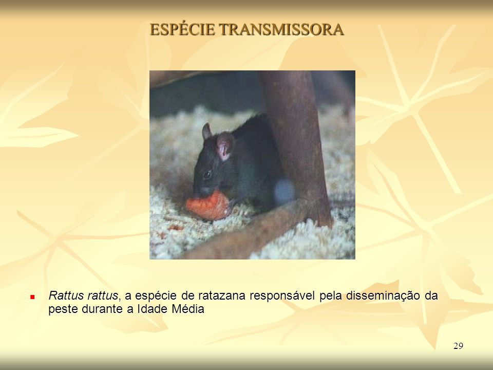 ESPÉCIE TRANSMISSORA Rattus rattus, a espécie de ratazana responsável pela disseminação da peste durante a Idade Média.