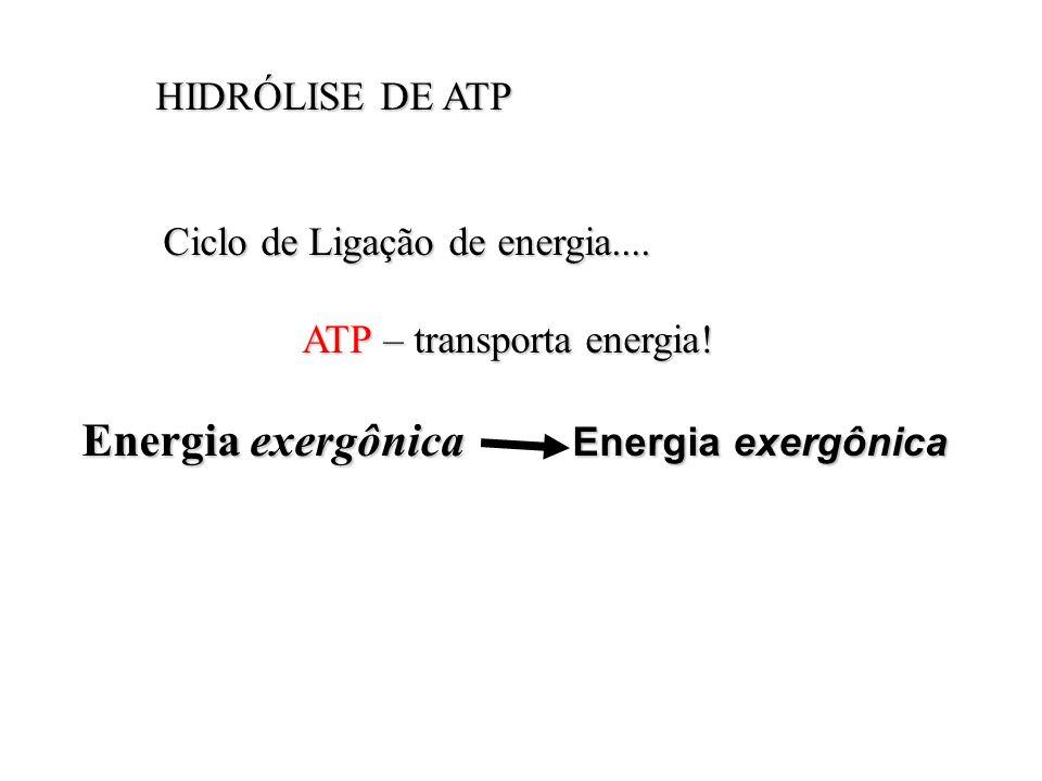 HIDRÓLISE DE ATP Ciclo de Ligação de energia.... ATP – transporta energia.