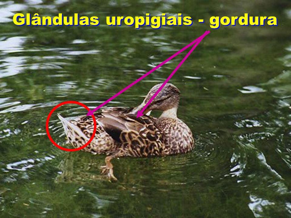 Glândulas uropigiais - gordura