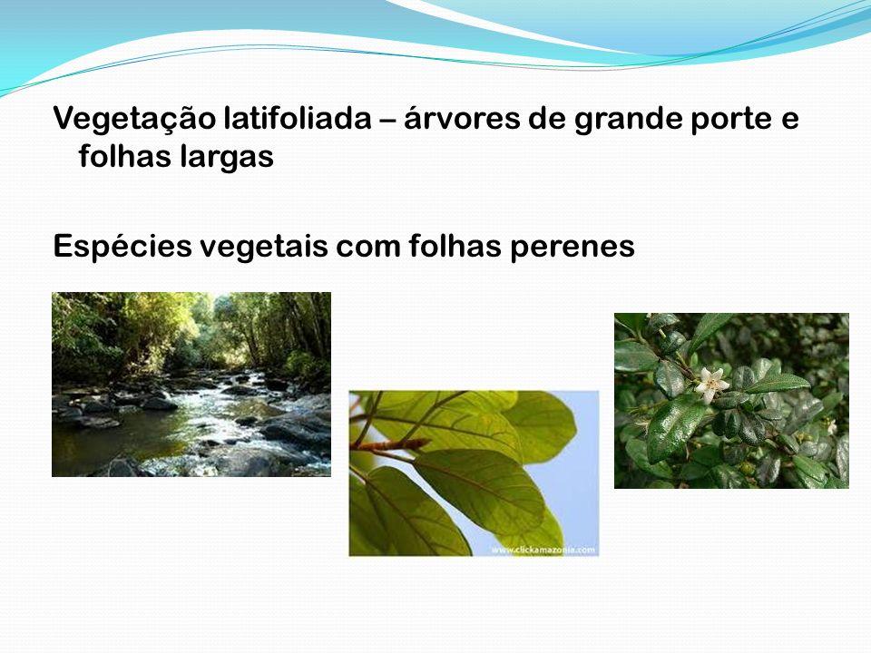 Vegetação latifoliada – árvores de grande porte e folhas largas