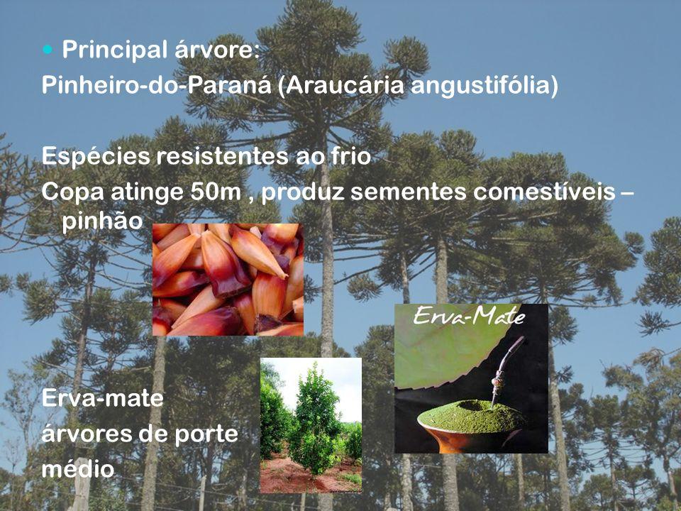 Principal árvore: Pinheiro-do-Paraná (Araucária angustifólia) Espécies resistentes ao frio. Copa atinge 50m , produz sementes comestíveis – pinhão.