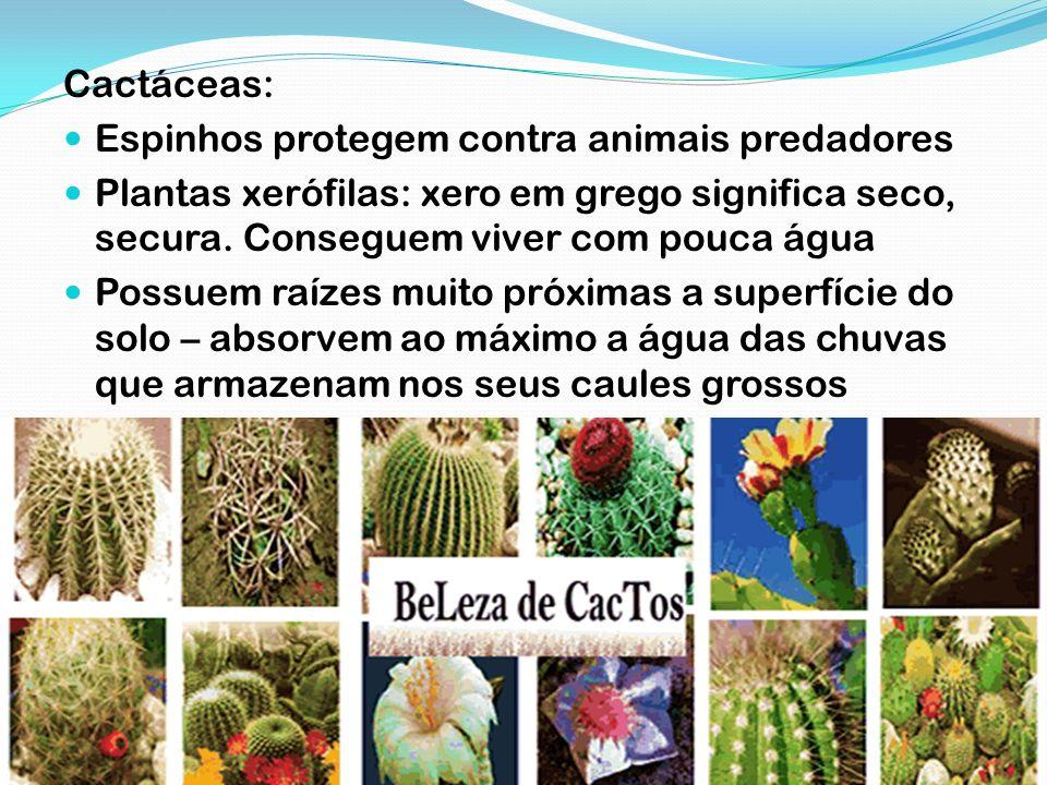 Cactáceas: Espinhos protegem contra animais predadores. Plantas xerófilas: xero em grego significa seco, secura. Conseguem viver com pouca água.