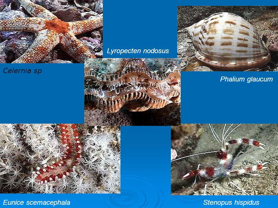 Lyropecten nodosus Celernia sp Phalium glaucum Eunice scemacephala Stenopus hispidus