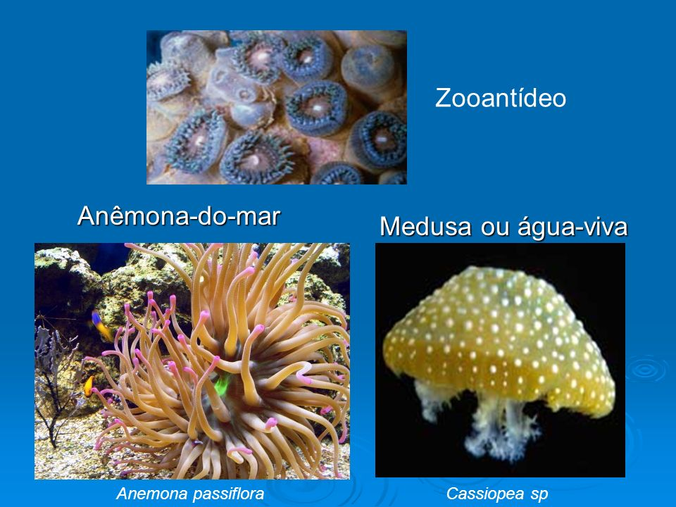 Zooantídeo Anêmona-do-mar Medusa ou água-viva Anemona passiflora