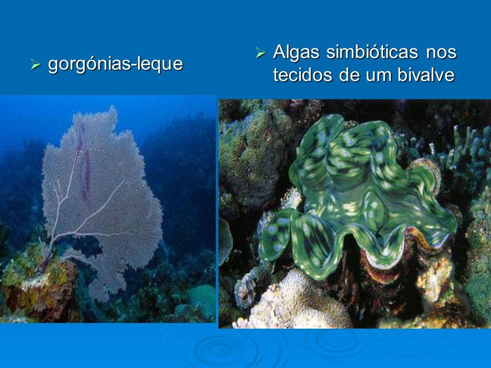 Algas simbióticas nos tecidos de um bivalve