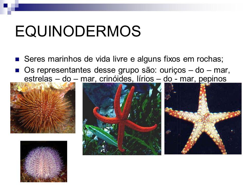 EQUINODERMOS Seres marinhos de vida livre e alguns fixos em rochas;