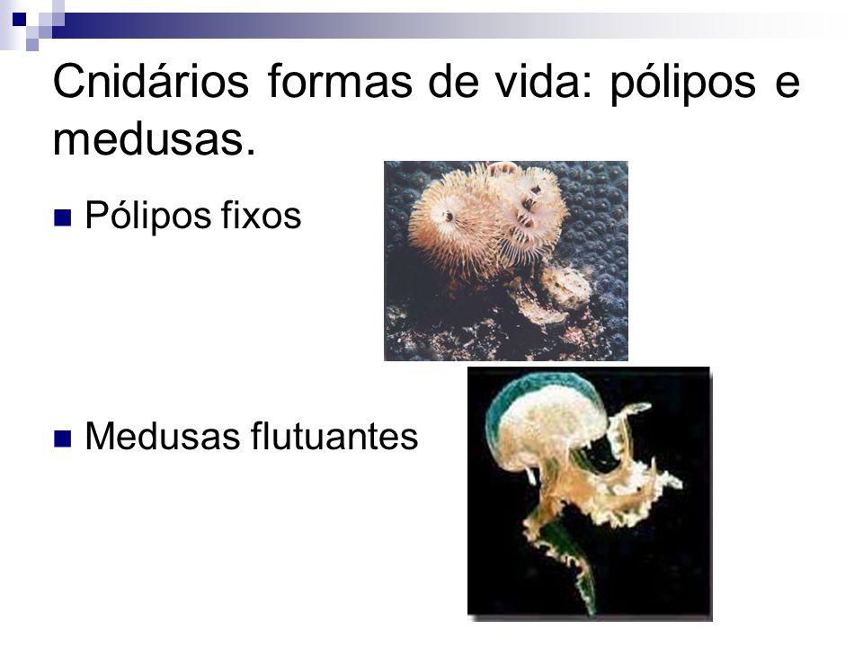 Cnidários formas de vida: pólipos e medusas.