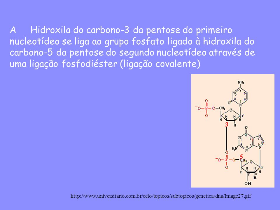 A Hidroxila do carbono-3 da pentose do primeiro