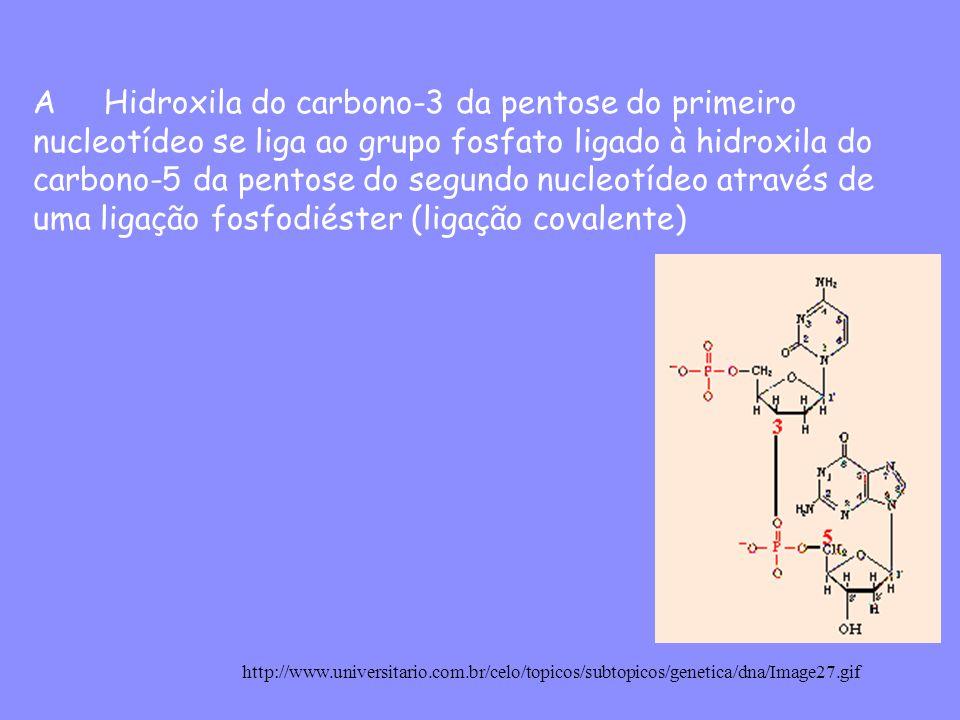 A Hidroxila do carbono-3 da pentose do primeiro