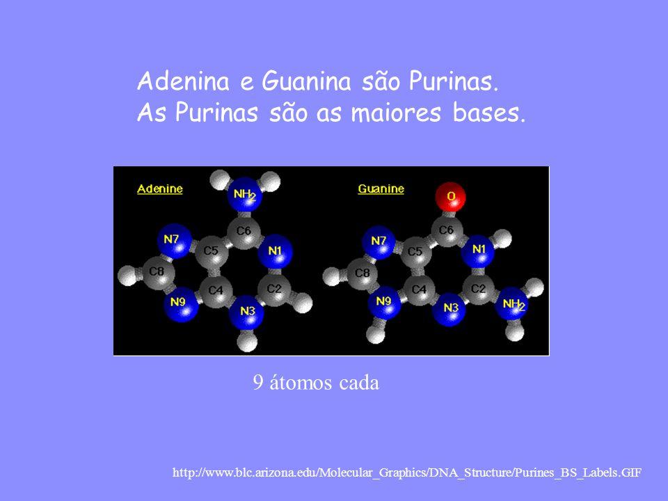 Adenina e Guanina são Purinas. As Purinas são as maiores bases.