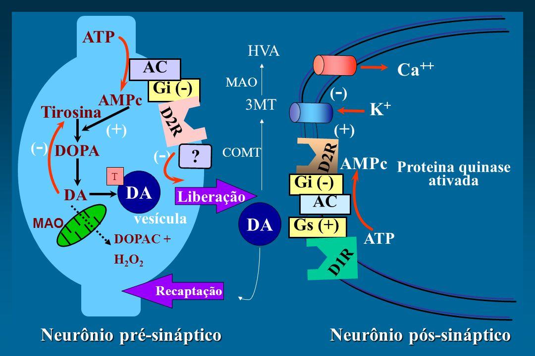 Proteina quinase ativada Neurônio pré-sináptico Neurônio pós-sináptico