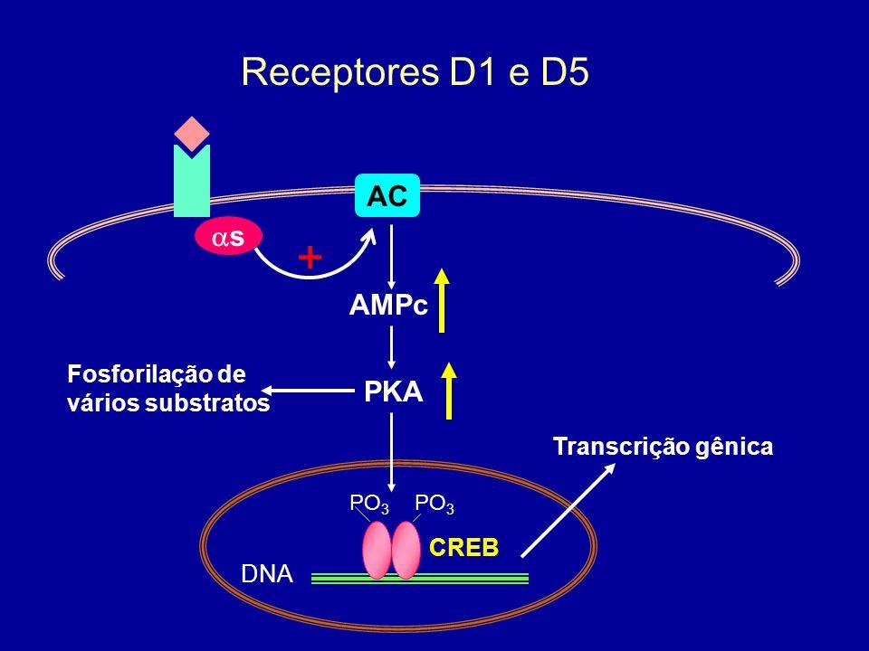 + Receptores D1 e D5 AC as AMPc PKA Fosforilação de vários substratos