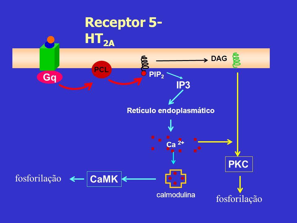 . . . . . . . : : : : Receptor 5-HT2A Gq IP3 PKC fosforilação CaMK