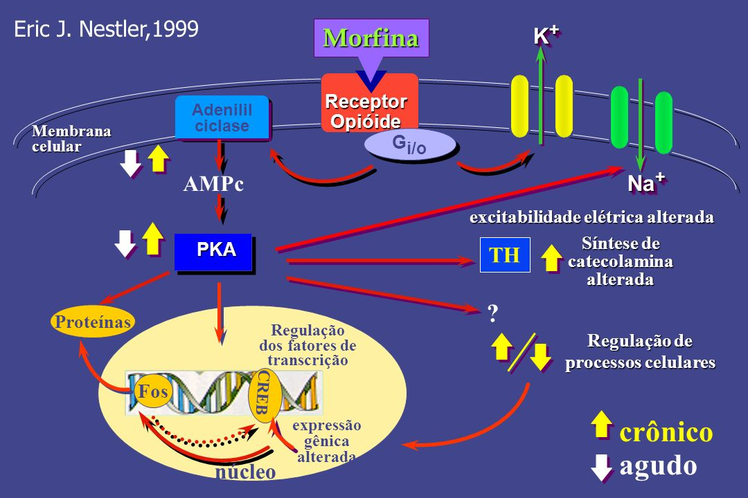 crônico agudo Morfina Eric J. Nestler,1999 K+ AMPc Na+ TH núcleo Fos