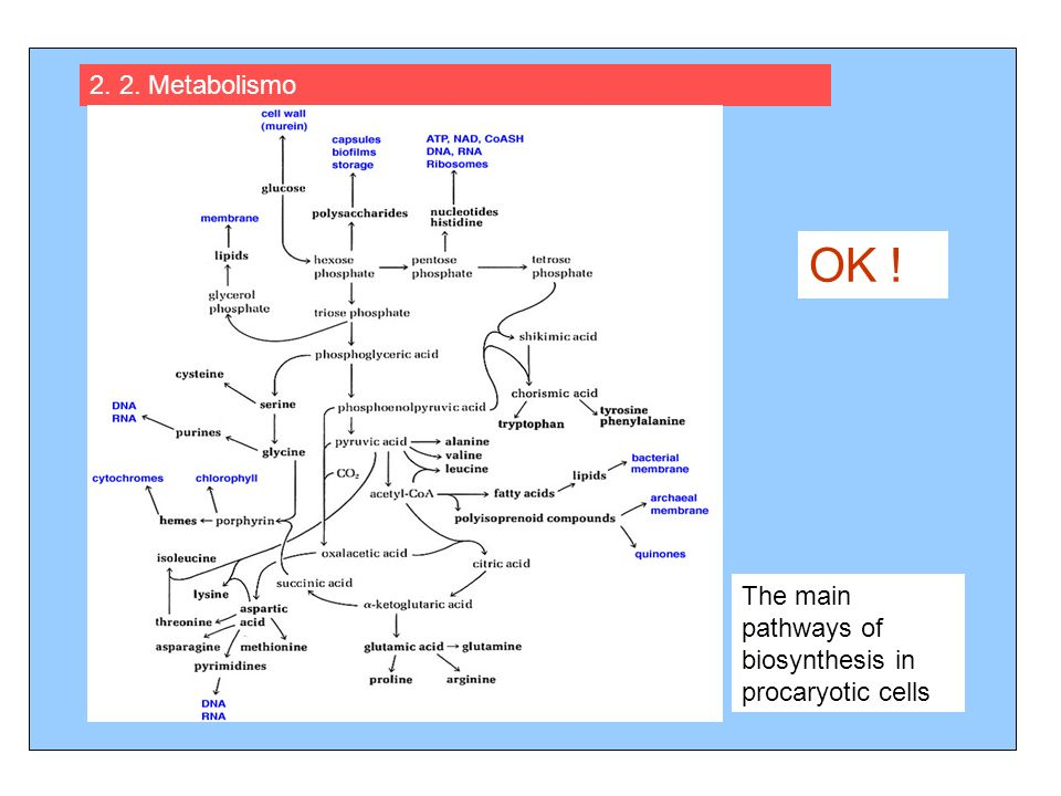 2. 2. Metabolismo OK ! The main pathways of biosynthesis in procaryotic cells
