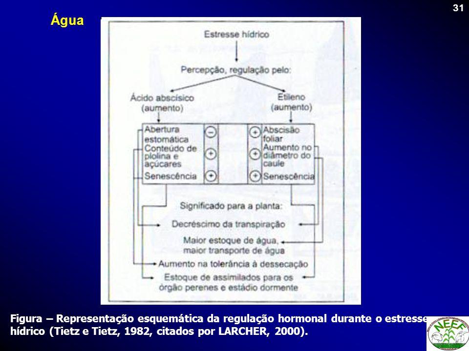 ÁguaFigura – Representação esquemática da regulação hormonal durante o estresse hídrico (Tietz e Tietz, 1982, citados por LARCHER, 2000).