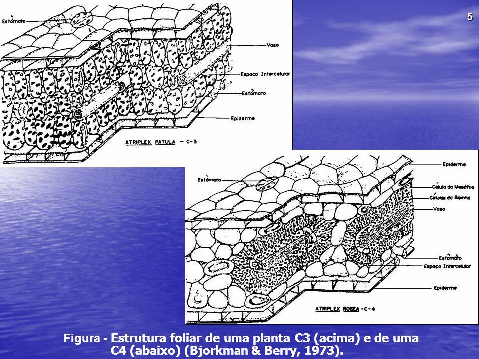 Figura - Estrutura foliar de uma planta C3 (acima) e de uma C4 (abaixo) (Bjorkman & Berry, 1973).