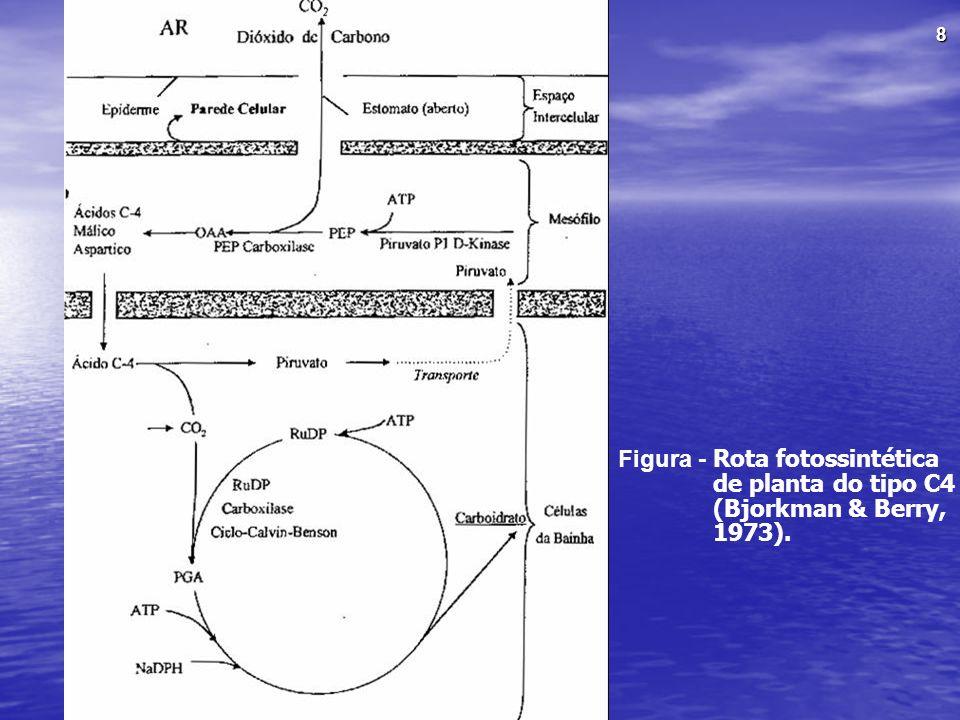 Figura - Rota fotossintética de planta do tipo C4 (Bjorkman & Berry, 1973).