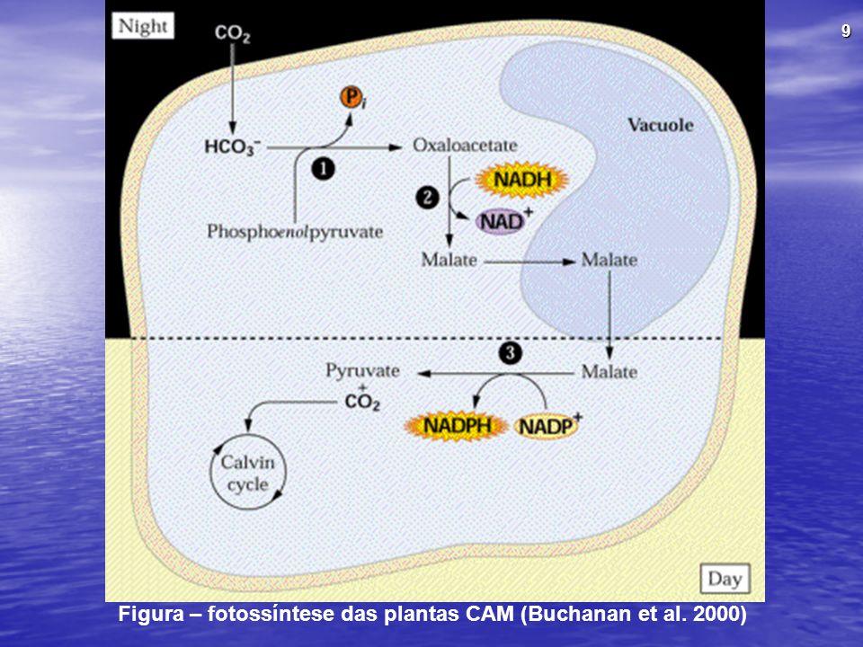 Figura – fotossíntese das plantas CAM (Buchanan et al. 2000)