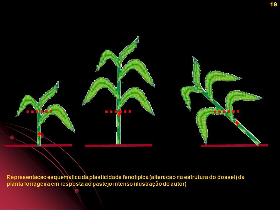 Representação esquemática da plasticidade fenotípica (alteração na estrutura do dossel) da planta forrageira em resposta ao pastejo intenso (ilustração do autor)